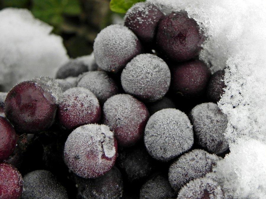 vino-de-hielo_ice-wine_5