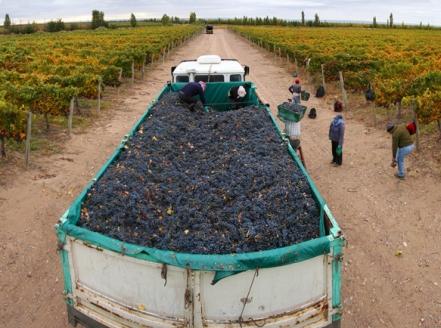 cosecha-camion-uva-parral-vina